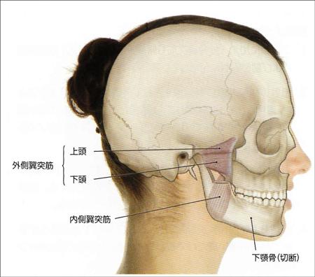 外側翼突筋解剖図