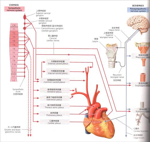 心臓の自律神経