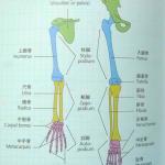 もう一つの骨盤 「肩甲骨+鎖骨」の話