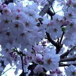 千年つづく櫻宮神社は満開の下