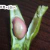 [野菜販売]丹波黒 枝豆はそろそろ終了